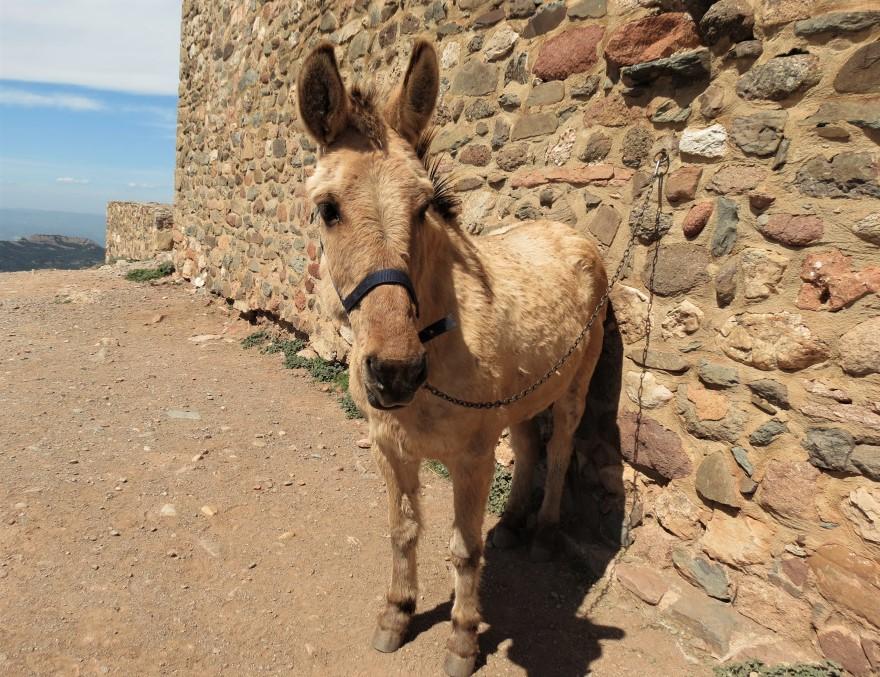 Una mula que transporta alimentos al monasterio de sant llorenc del munt